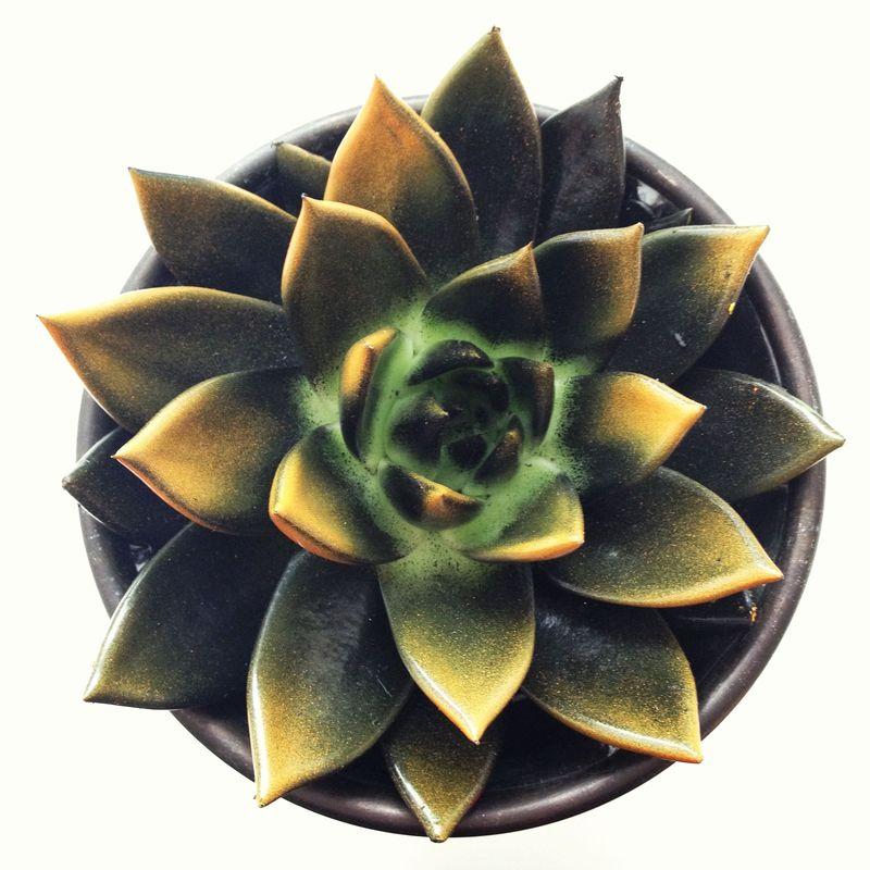 My_Desktop_Succulent